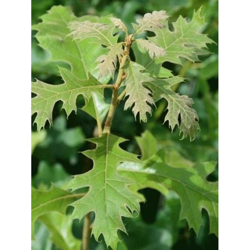 Quercus velutina - close up of leaves