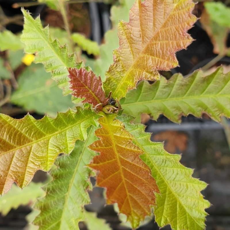 Quercus castaneifolia - young leaves