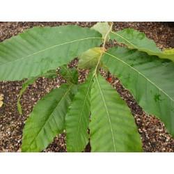 Quercus variabilis - summer leaves
