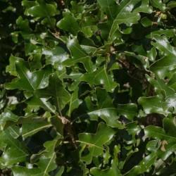 Quercus stellata - leaves