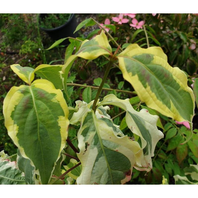 Cornus kousa 'Tri Splendour' - variegated leaves