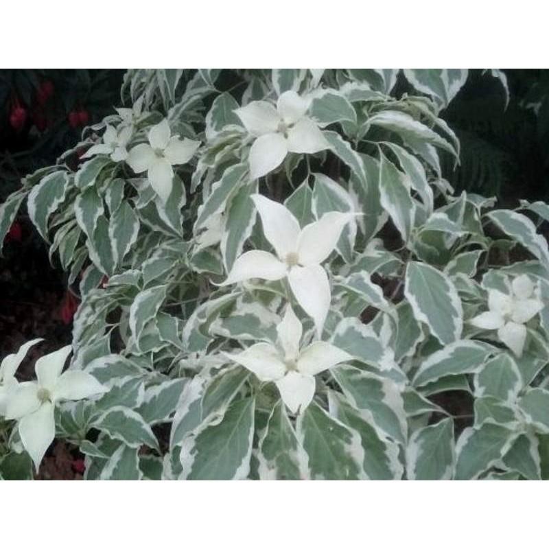 Cornus kousa 'Laura' - variegated leaves