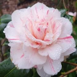 Camellia japonica 'William Honey' - flower