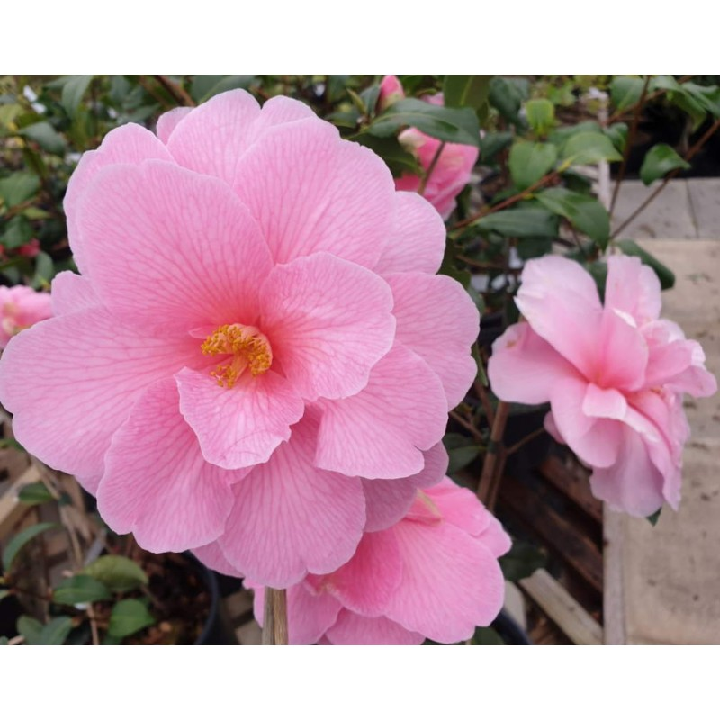 Camellia x williamsii 'Donation' - spring flowers