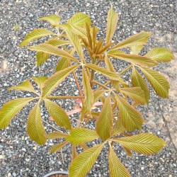 Aesculus pavia - young leaves in spring