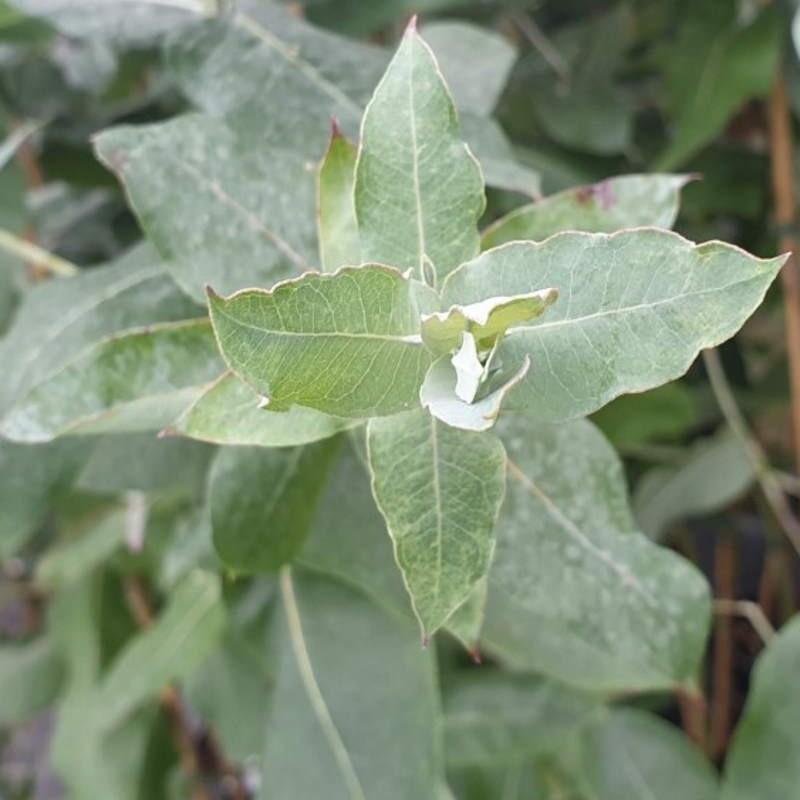 Eucalyptus globulus - young leaves