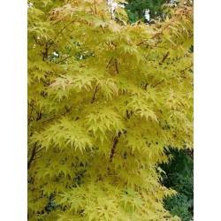 Acer palmatum 'Sango-kaku' - autumn colour