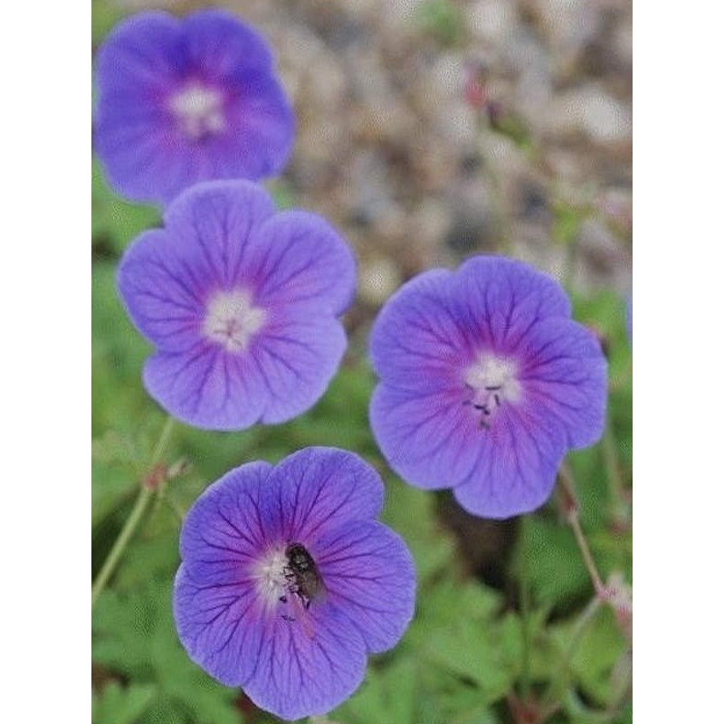 Geranium himalayense 'Gravetye' - summer flowers
