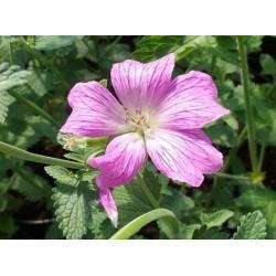 Geranium x oxonianum 'Claridge Druce' - summer flowers
