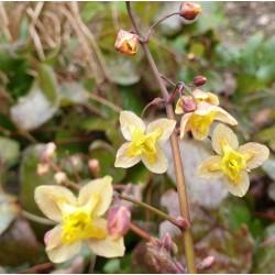 Epimedium 'Black Sea' - flowers in spring