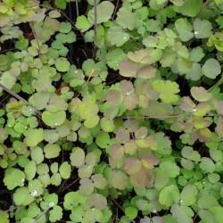 Thalictrum rochebrunianum - spring leaves