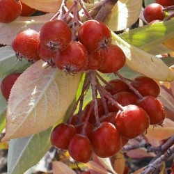 Aronia arbutifolia - berries in autumn