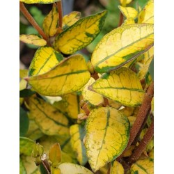 Trachelospermum asiaticum 'Summer Sunset' - winter leaves