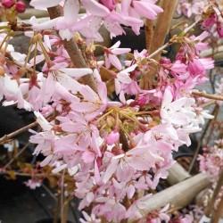 Prunus pendula 'Stellata' - close up of flowers