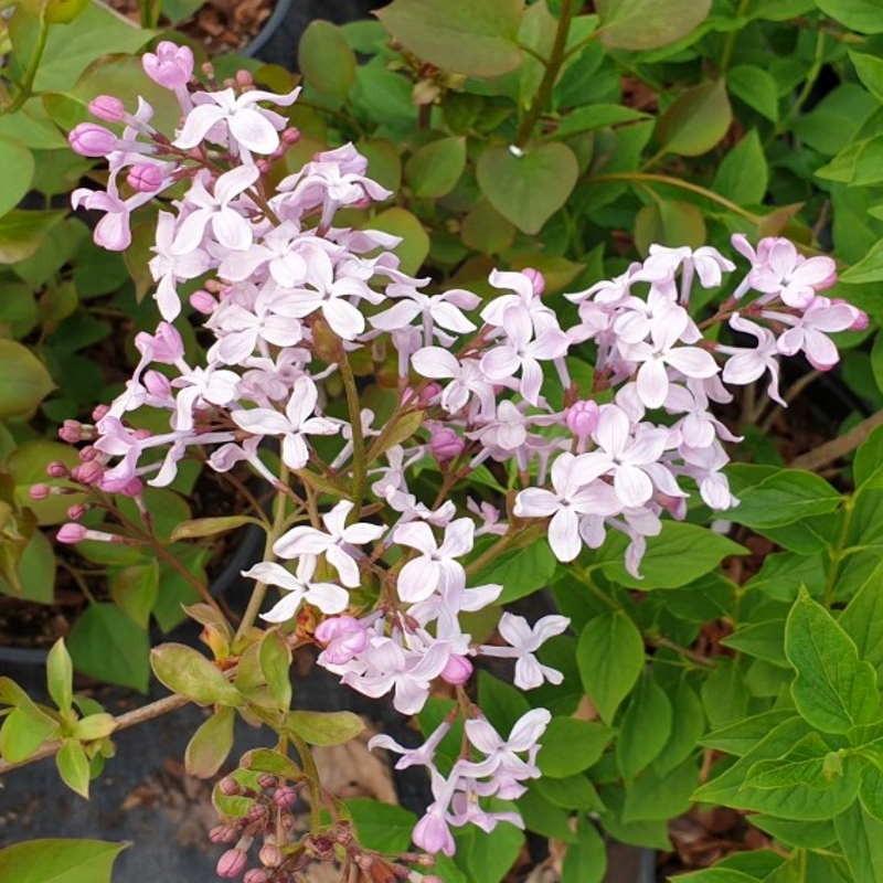 Syringa oblata var dilatata - late spring flowers
