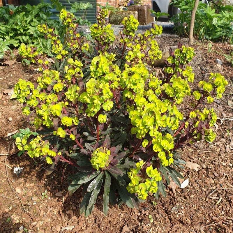 Euphorbia amygdaloides 'Purpurea' - established plant flowering in Spring