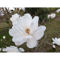 Magnolia x loebneri 'Mag's Pirouette' - flowers in early - mid April