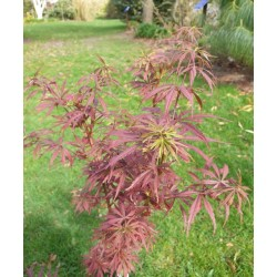 Acer palmatum 'Jerre Schwartz' - young leaves in Spring