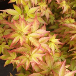 Acer palmatum 'Little Princess' - young spring leaves