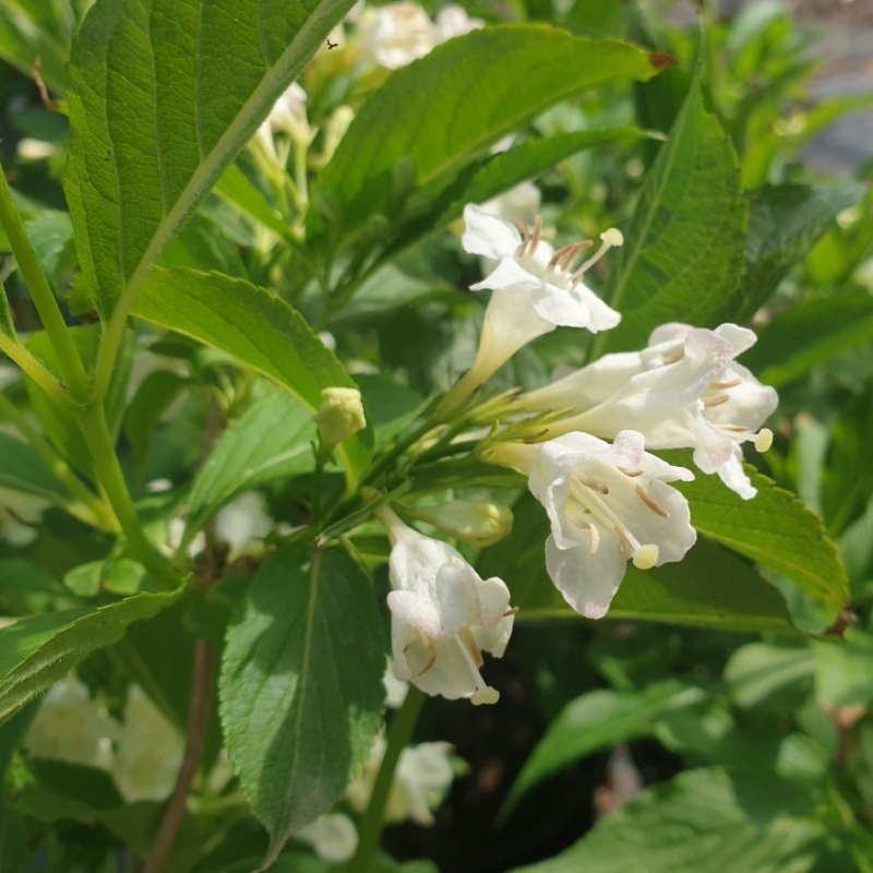 Weigela florida 'Bristol Snowflake' - late spring flowers