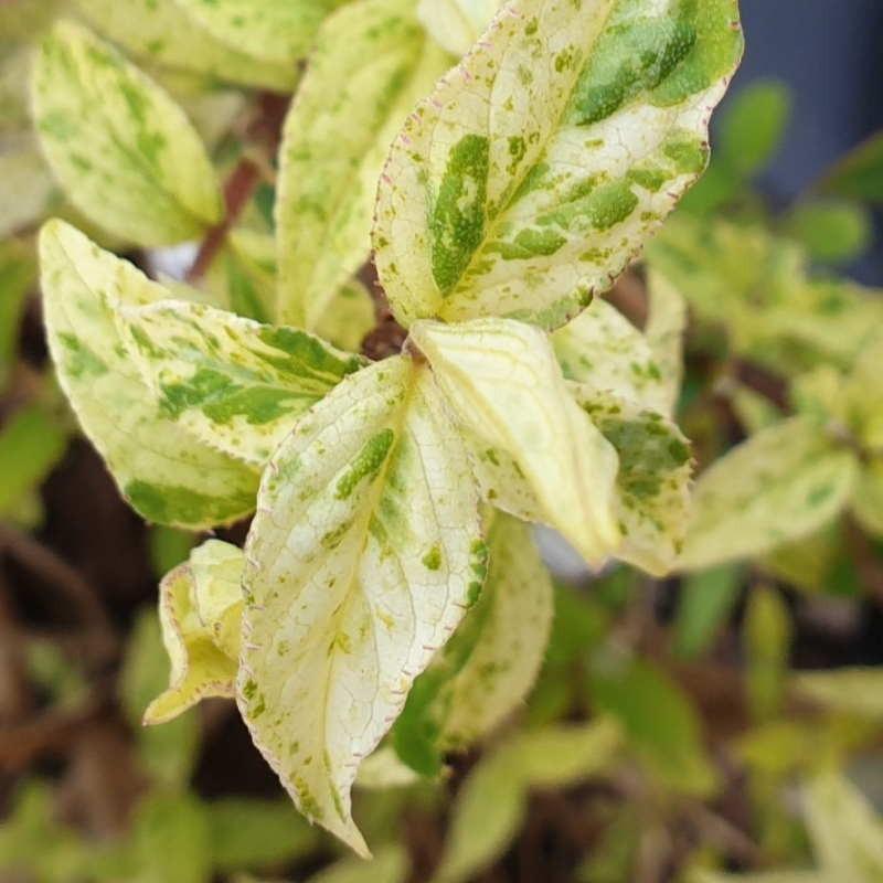 Deutzia scabra 'Punctata' - variegated leaves in spring