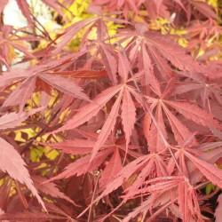 Acer palmatum 'Sumi-nagashi' - spring leaves