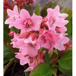 Bergenia 'Dark Damsel' - flowers in spring