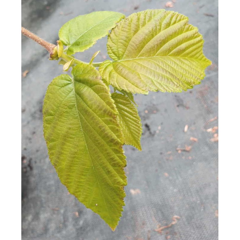 Corylus chinensis - leaves in late spring