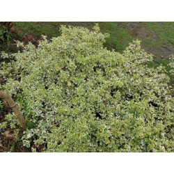 Euonymus fortunei 'Silver Queen' - established plant