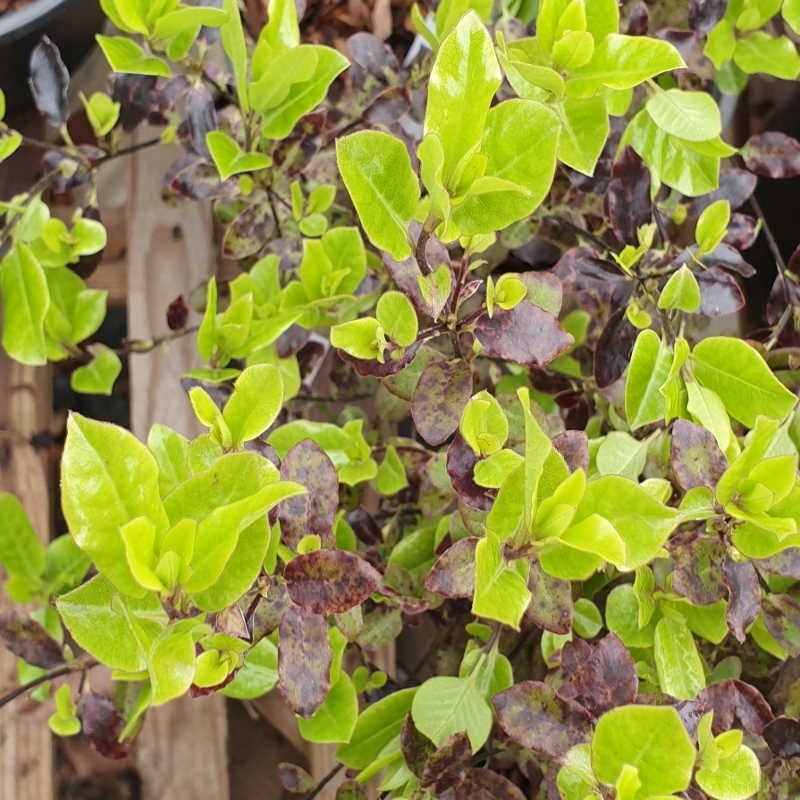 Pittosporum tenuifolium 'Petite Plum' - spring leaves