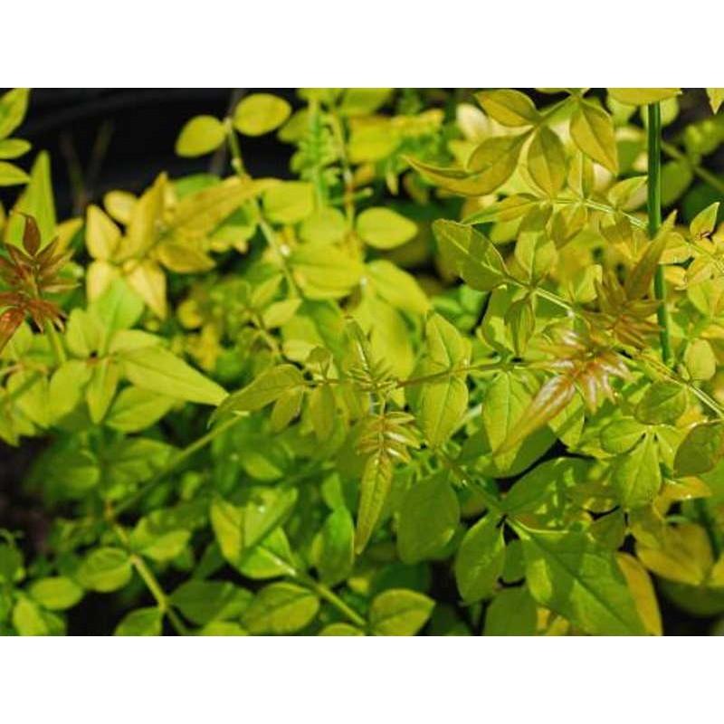 Jasminum officinale 'Fiona Sunrise' - summer foliage