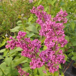 Syringa vulgaris 'Andenken an Ludwig Spath' - flowers