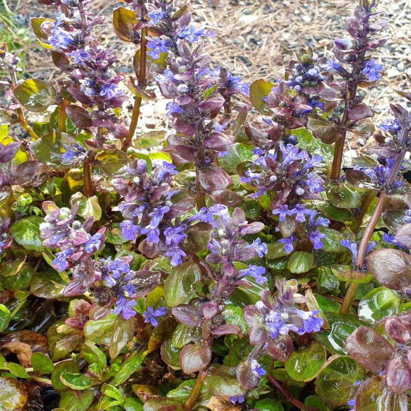 Ajuga reptans 'Catlin's Giant' - spring flowers