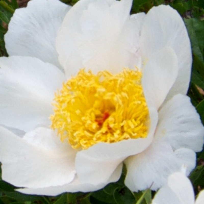 Paeonia lactiflora 'White Wings' - flowers