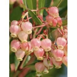 Arbutus unedo 'Compacta' - late summer/autumn flowers