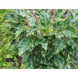 Fagus sylvatica 'Green Obelisk' - summer leaves