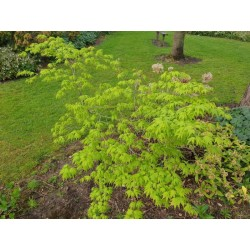 Acer palmatum 'Ukon' - 4 year old plant in spring