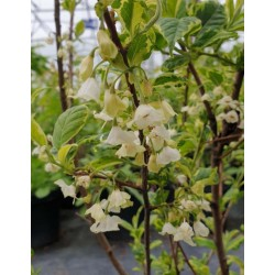 Halesia monticola 'Variegata' - early summer flowers