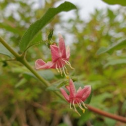 Lonicera gracilipes - flowers in late Spring