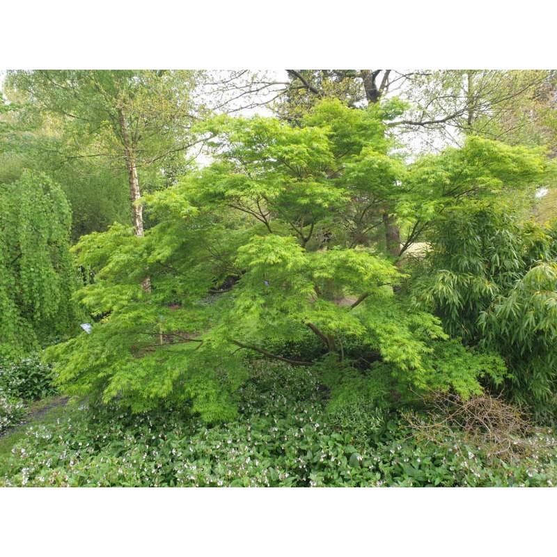Acer palmatum 'Seiryu' - in late April
