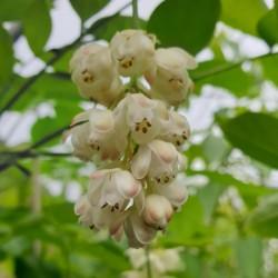Staphylea pinnata - flowers in early May