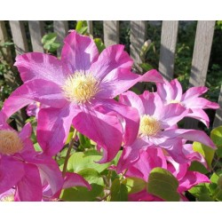 Clematis 'Kakio' - late spring flowers