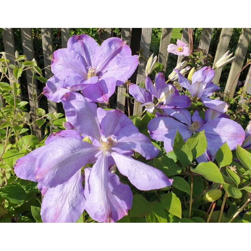 Clematis 'Mrs Cholmondeley' - spring flowers