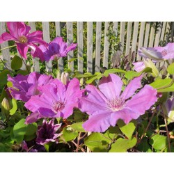 Clematis 'Baltyk' - late spring flowers
