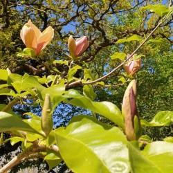 Magnolia x brooklynensis 'Evamaria' - late spring flower