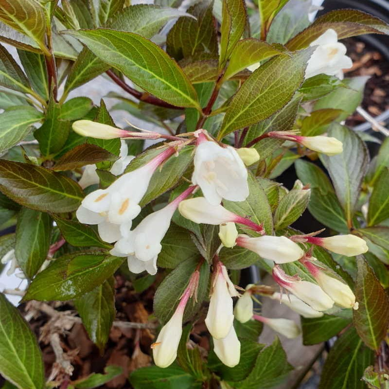 Weigela florida 'Black and White' - late spring flowers