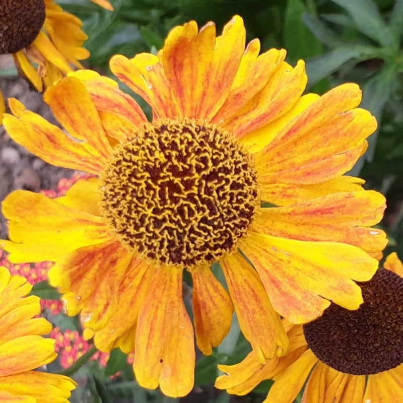 Helenium 'Wyndley' - summer flowers