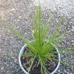 Deschampsia cespitosa 'Goldschleier' - young plant