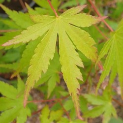 Acer palmatum - spring leaves