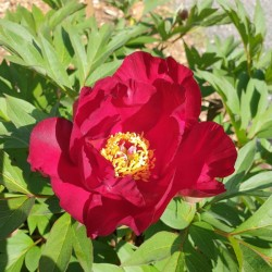 Paeonia 'Scarlet Heaven' - flowers in late May